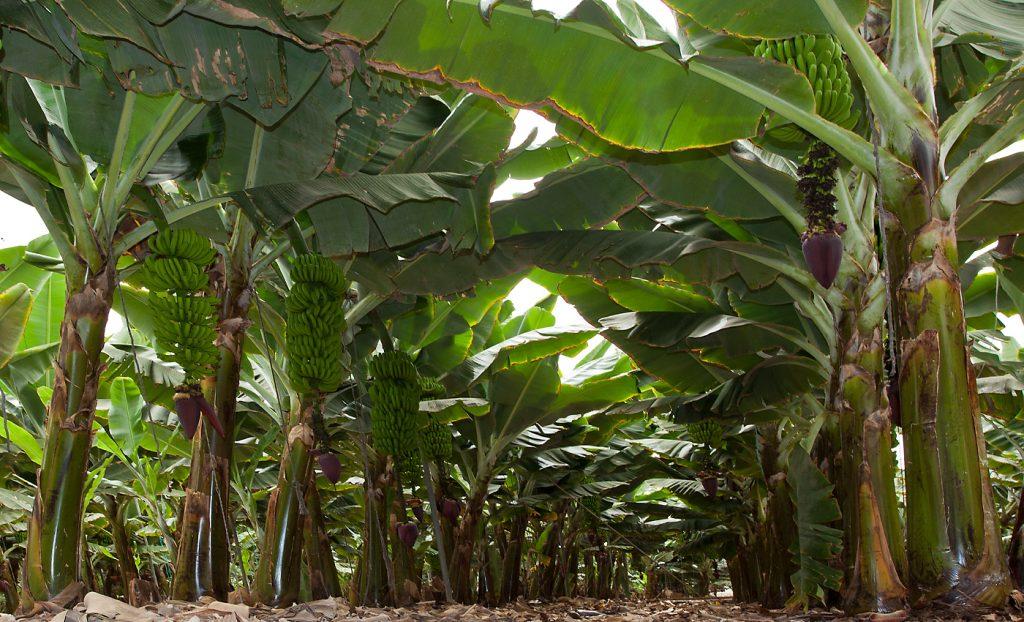 Tenerife con niños: Banana Experience Finca Las Margaritas