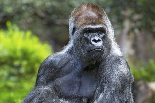Tenerife con niños: Gorilas Loro Parque Tenerife
